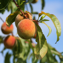 Fresh peach on a peach tree